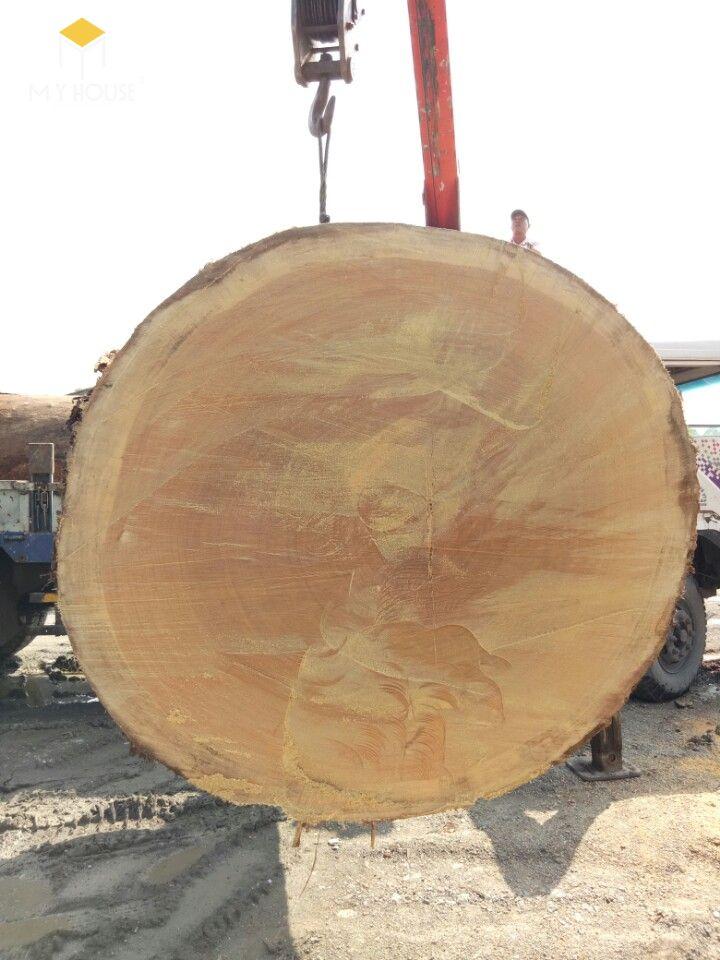 Cây gỗ sao cát được tìm kiếm và đánh giá là cây gỗ sao to nhất tại Việt Nam